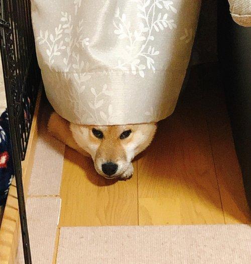 柴犬大五郎